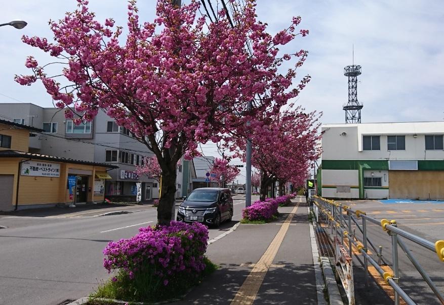 20200514美原学園通りの八重桜