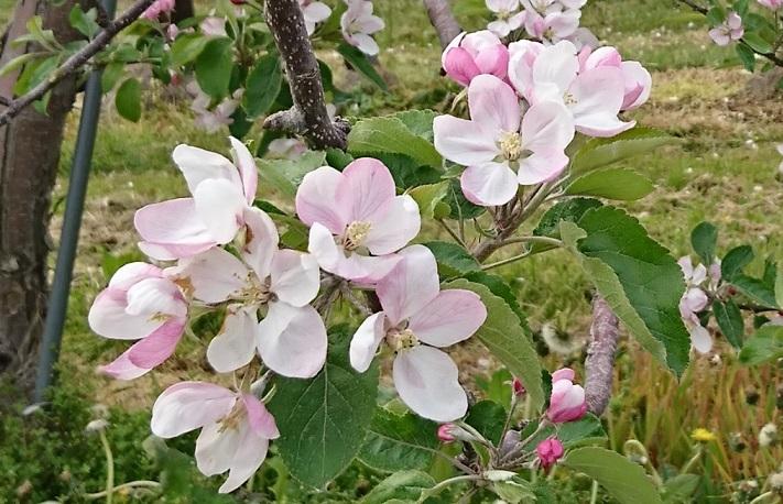 20200524 りんごの花