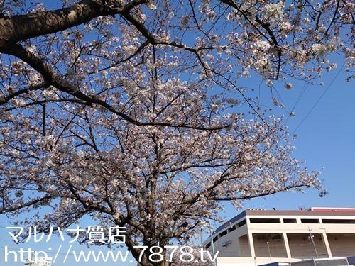 バロー豊橋桜 マルハナ質店