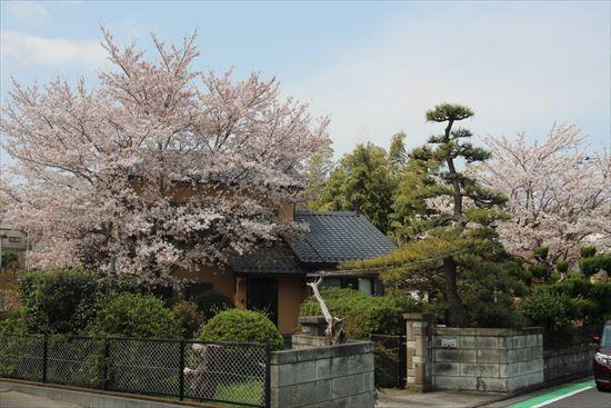 町内会長の桜