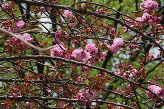 八重桜 関山1