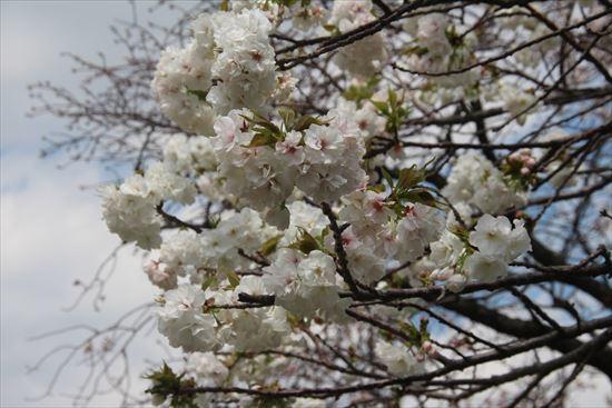 八重桜 白妙