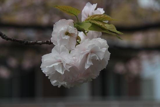 八重桜 白妙1