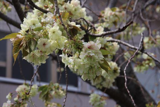 八重桜 ウコン1