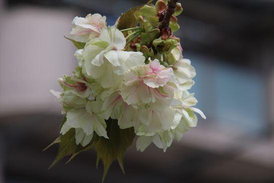 八重桜 ウコン