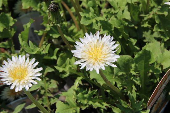 白花タンポポ1