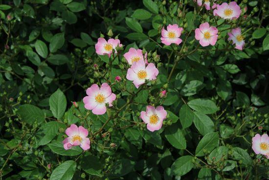 薔薇 バレリーナ1
