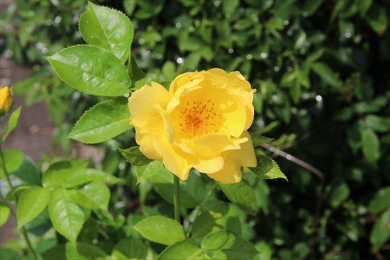 薔薇 レモンフィズ1