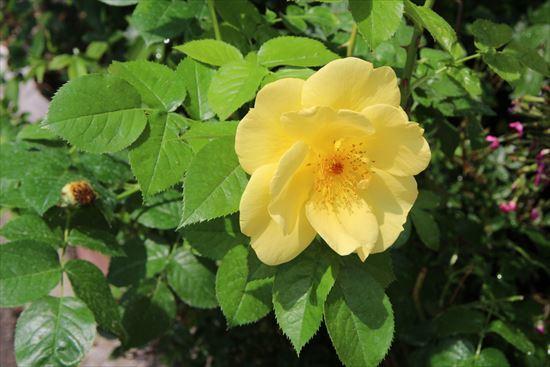 薔薇 レモンフィズ