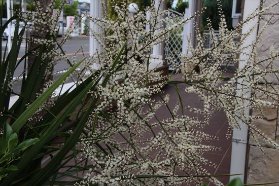 ドラセナ 花1