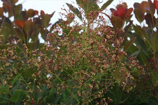 スモークツリーも花