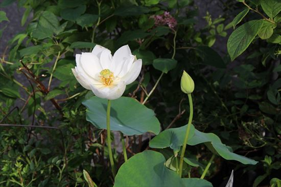 蓮の花2 (2)