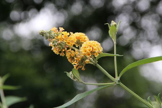 黄花ブットレア1