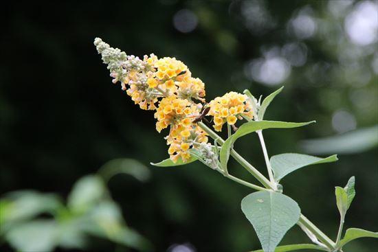 黄花ブットレア