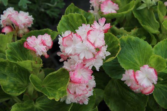 八重咲きベゴニア・ココナッツアイス
