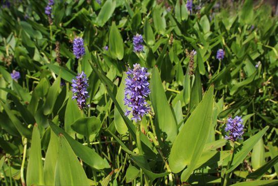 アメリカ水葵