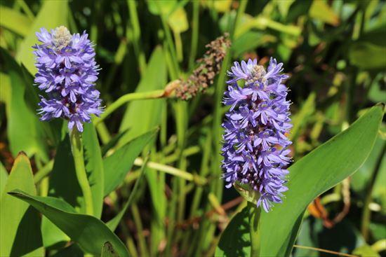 アメリカ水葵1