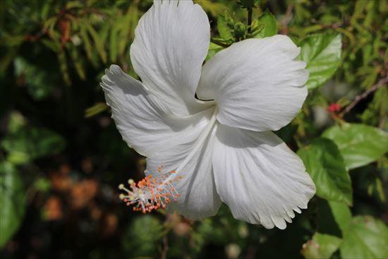 ハイビスカス コーラルホワイト1