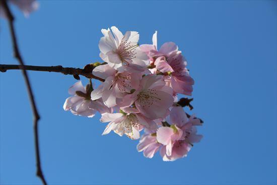 アーコレード桜