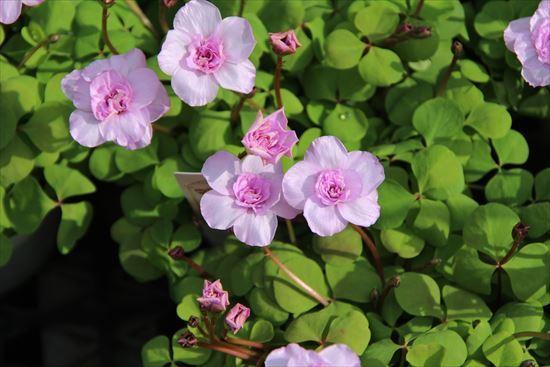 オキザリスのバラ1