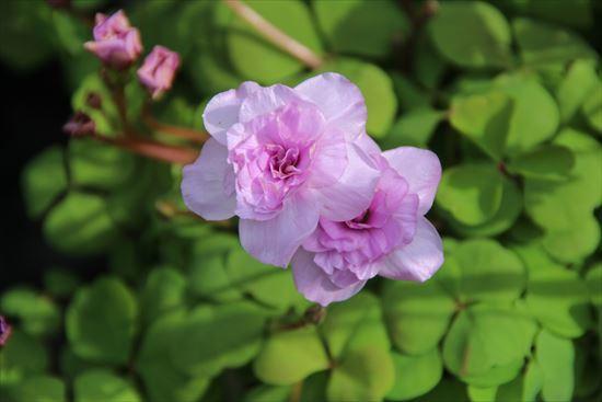 オキザリスのバラ
