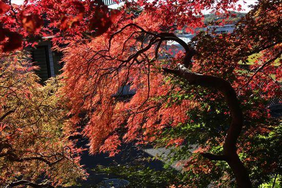 紅葉2 枝垂れ