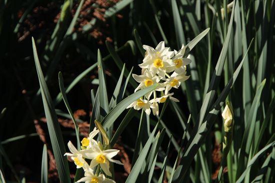 房咲き水仙1