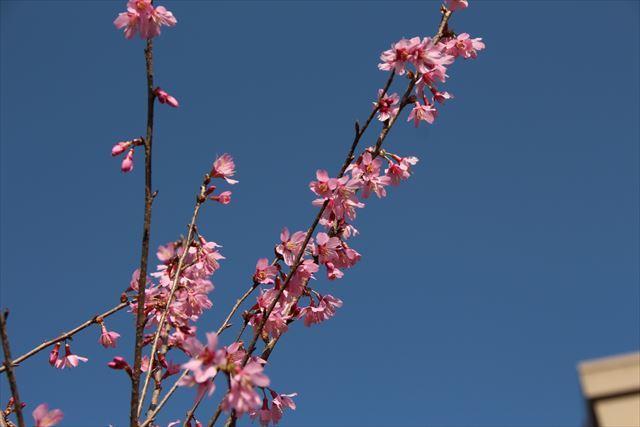 おかめ桜12
