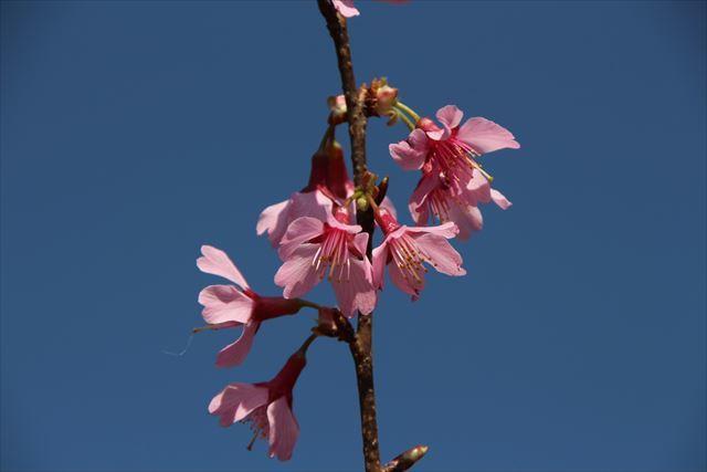 おかめ桜11