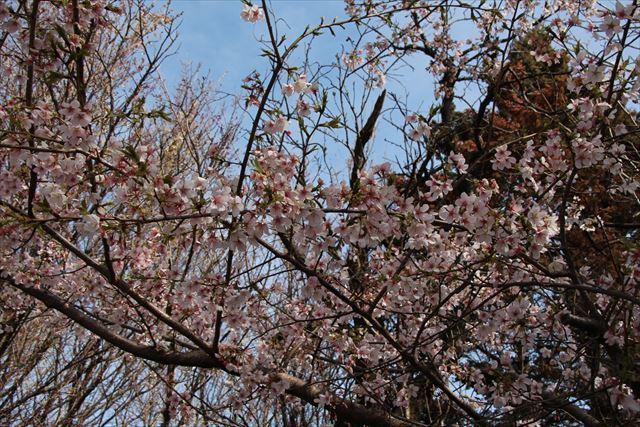 小彼岸桜1