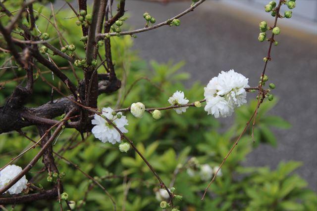 庭桜_八重
