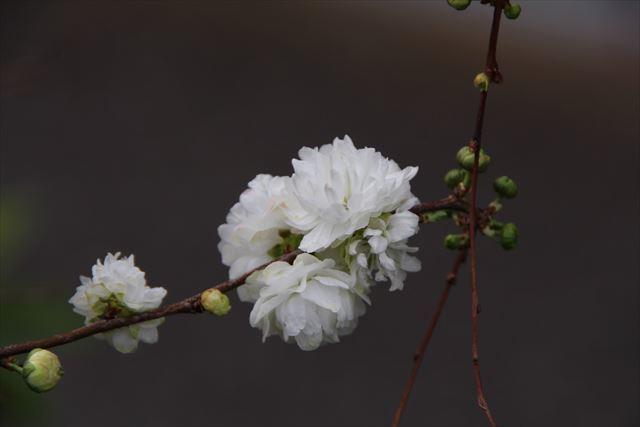 庭桜 八重1