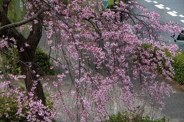枝垂れ桜24
