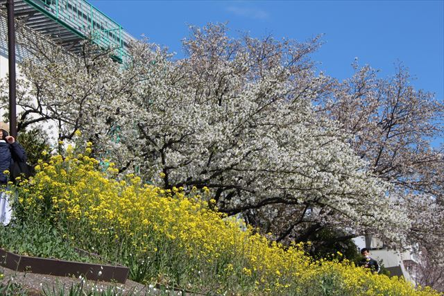 大島桜 菜の花