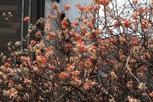 赤花ミツマタ1