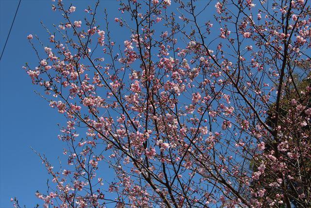 アーコレード桜1