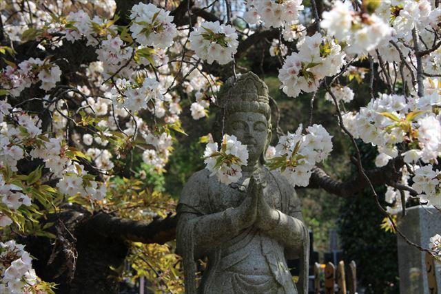 枝垂れ桜 観音1