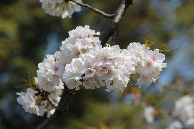 枝垂れ桜 観音