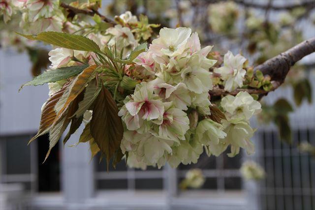 ウコン桜1