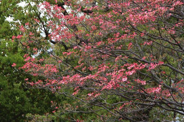 花水木 赤1