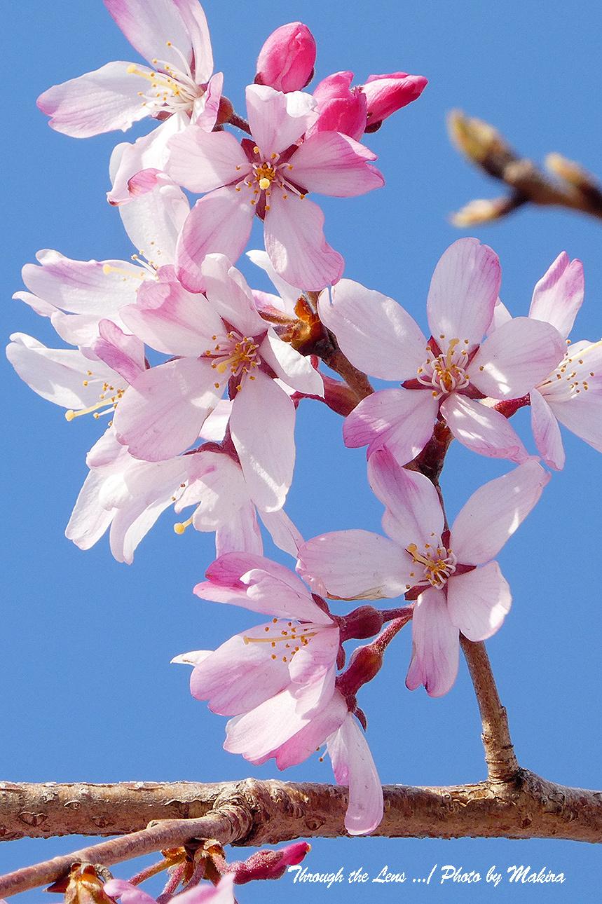 そうか桜TZ3