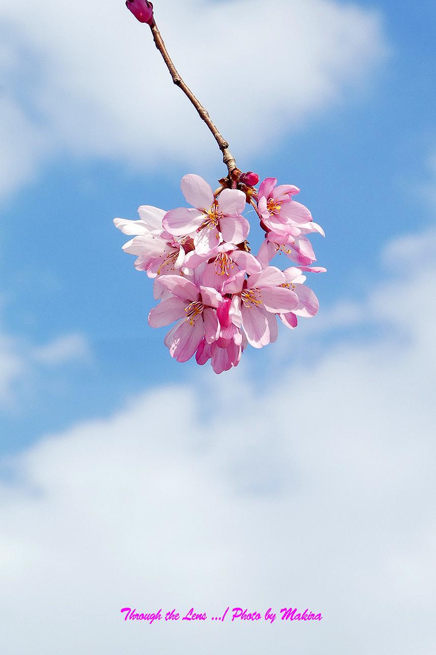 そうか桜TZ4