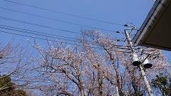 30326 桜