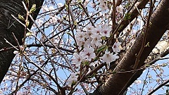 20326 桜