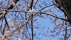 0326 桜