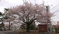 0327 桜