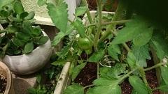 0604 トマト