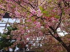 0309 河津桜