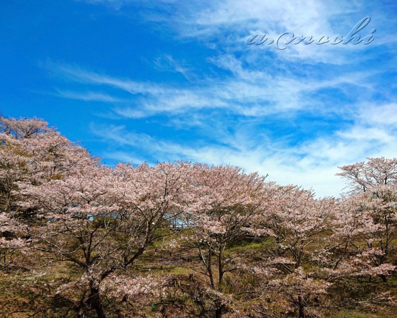 mochio_sakura1.jpg