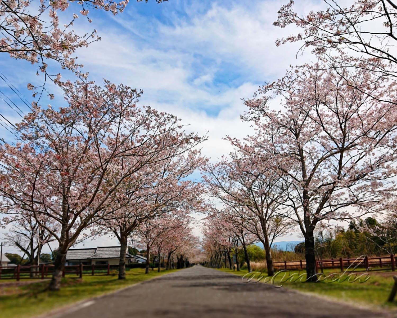 mochio_sakura2.jpg